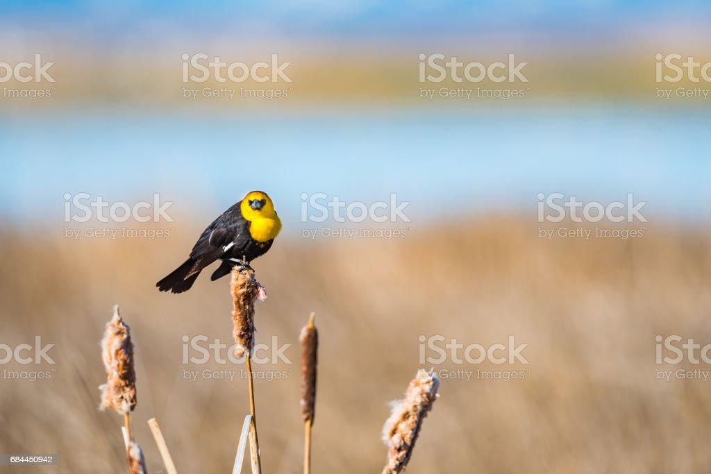 Yellow-headed Blackbird (Xanthocephalus xanthocephalus) stock photo