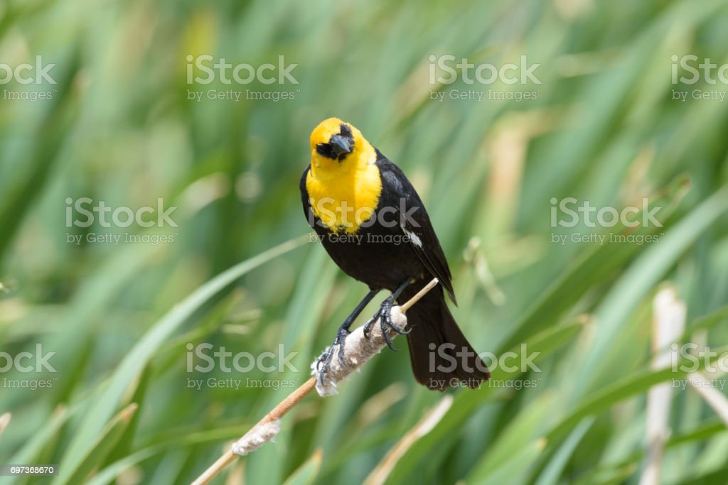 Yellow-headed Blackbird Sitting on a Cat Tail stock photo