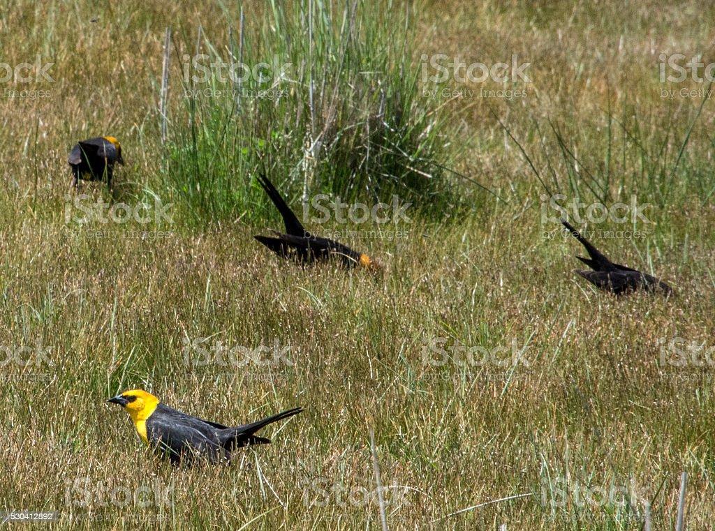 Yellow-headed blackbirds stock photo
