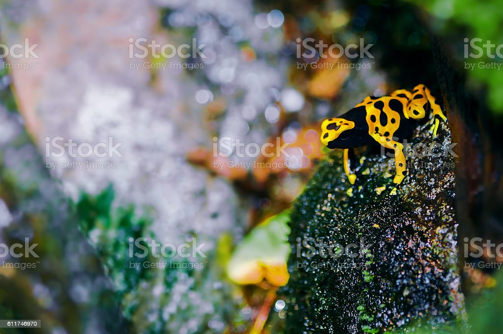 Yellow-headed poison dart frog in its natural habitat stock photo