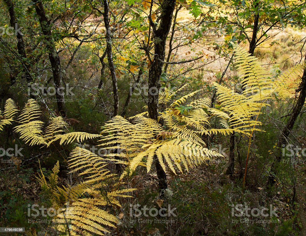 Yellowing Ferns - Helechos Amarillos stock photo