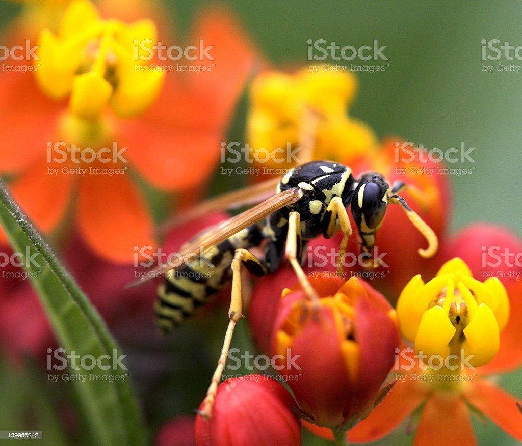 yellowjacket royalty-free stock photo