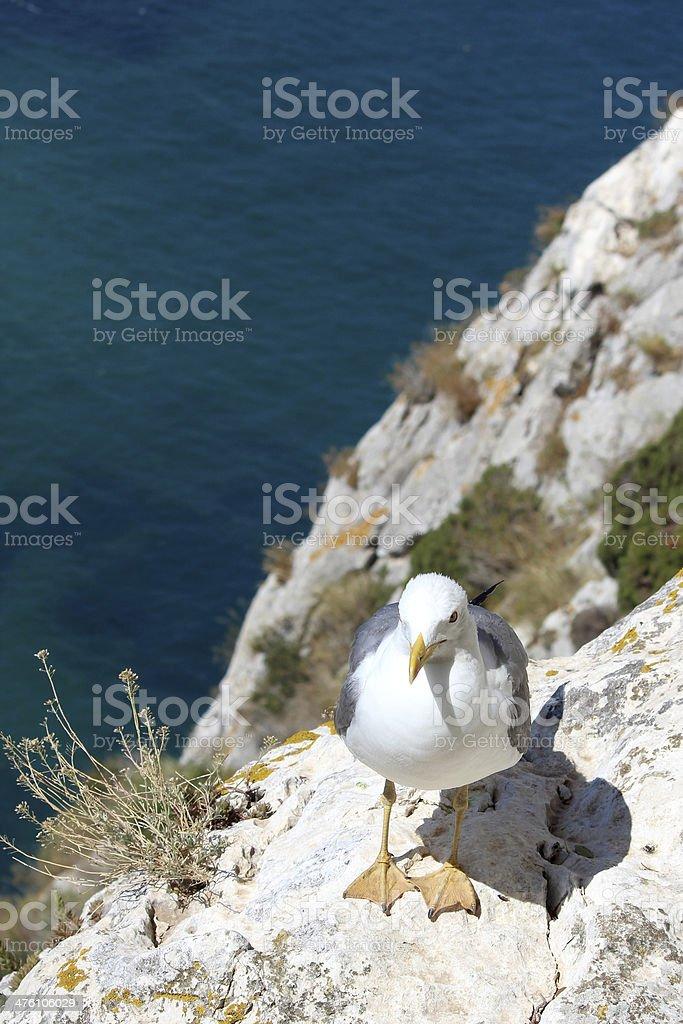 Yellow-legged Gull (Larus michahellis), in Natural Park of Penon stock photo