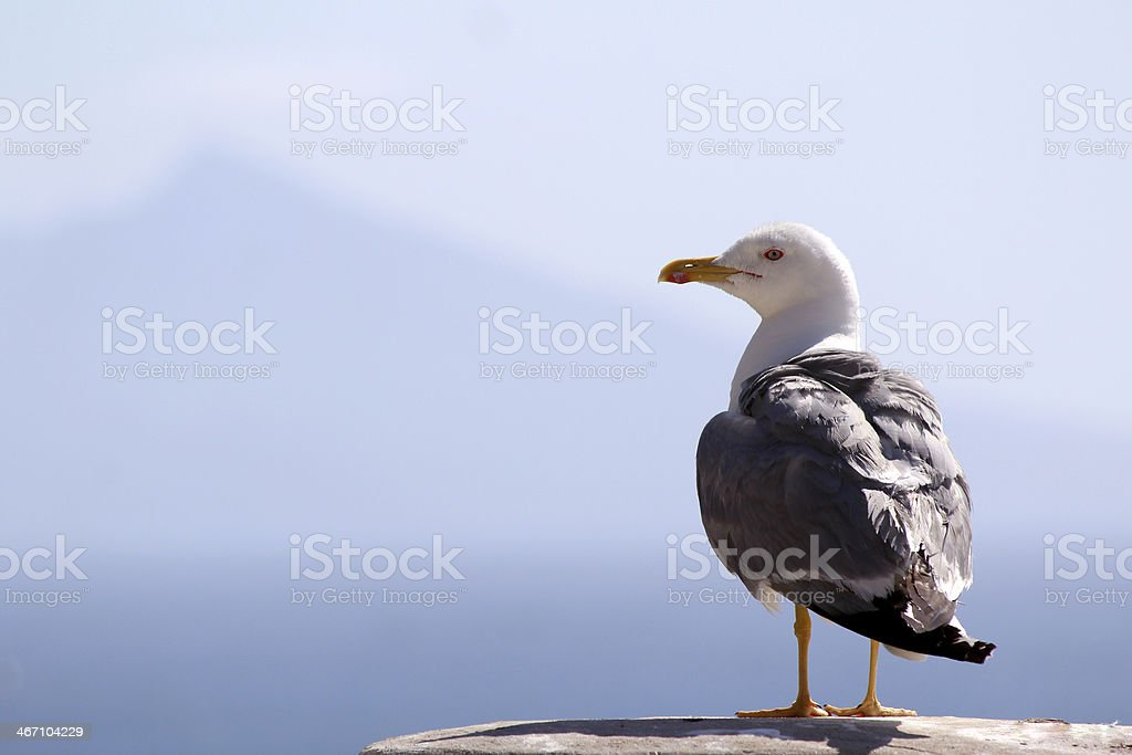 Yellow-legged Gull (Larus michahellis), in Natural Park stock photo