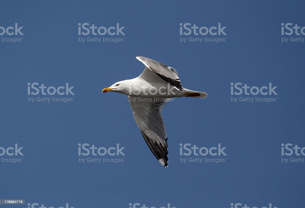 Yellow-legged gull, Larus cachinnans stock photo