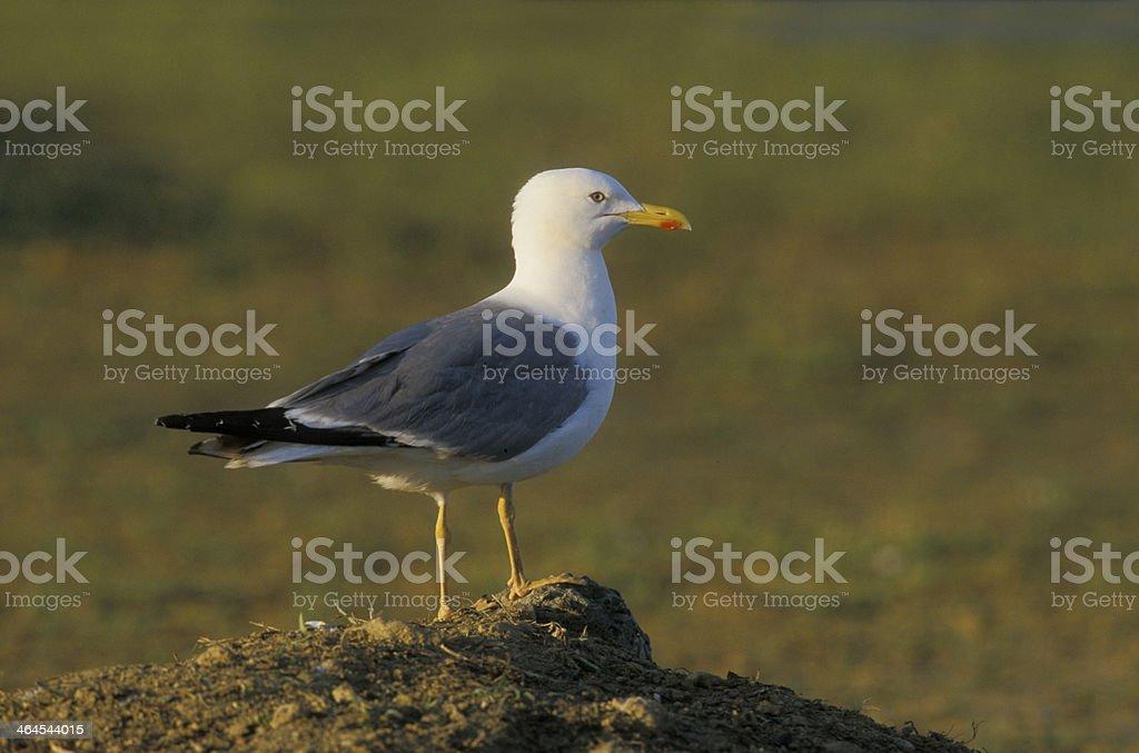 Yellow-legged gull, Larus cachinnans stock photo