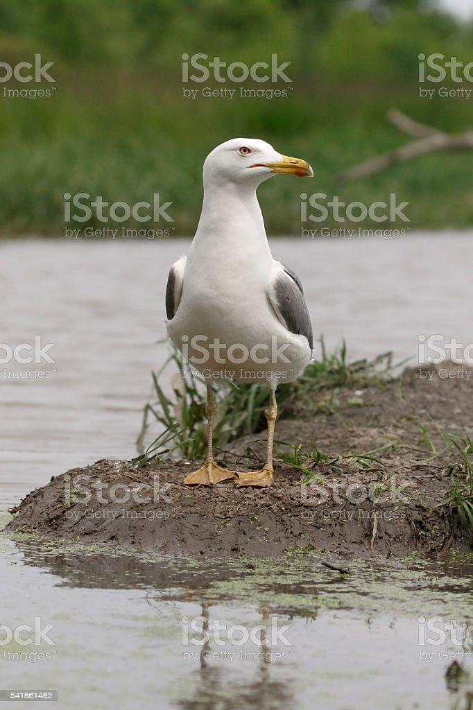 Yellow-legged gull, Larus michahellis stock photo