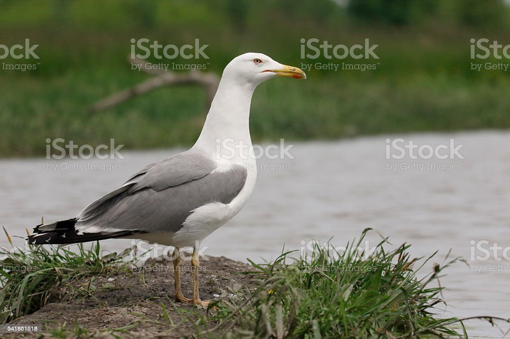 Yellow-legged gull, Larus michahellis stock photo