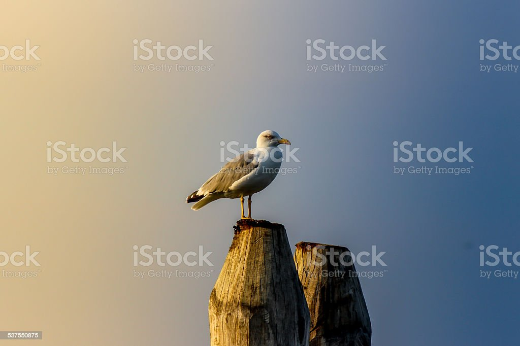 Yellow-legged gull on woden dock stock photo