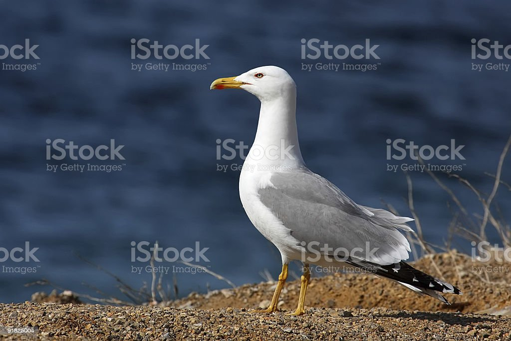 Yellow-Legged Gull stock photo