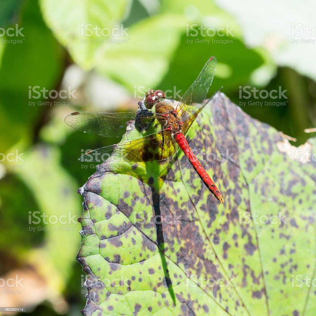 Yellow-Legged Meadowhawk stock photo