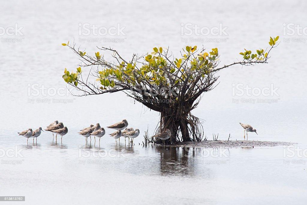 Yellowlegs and Mangrove stock photo