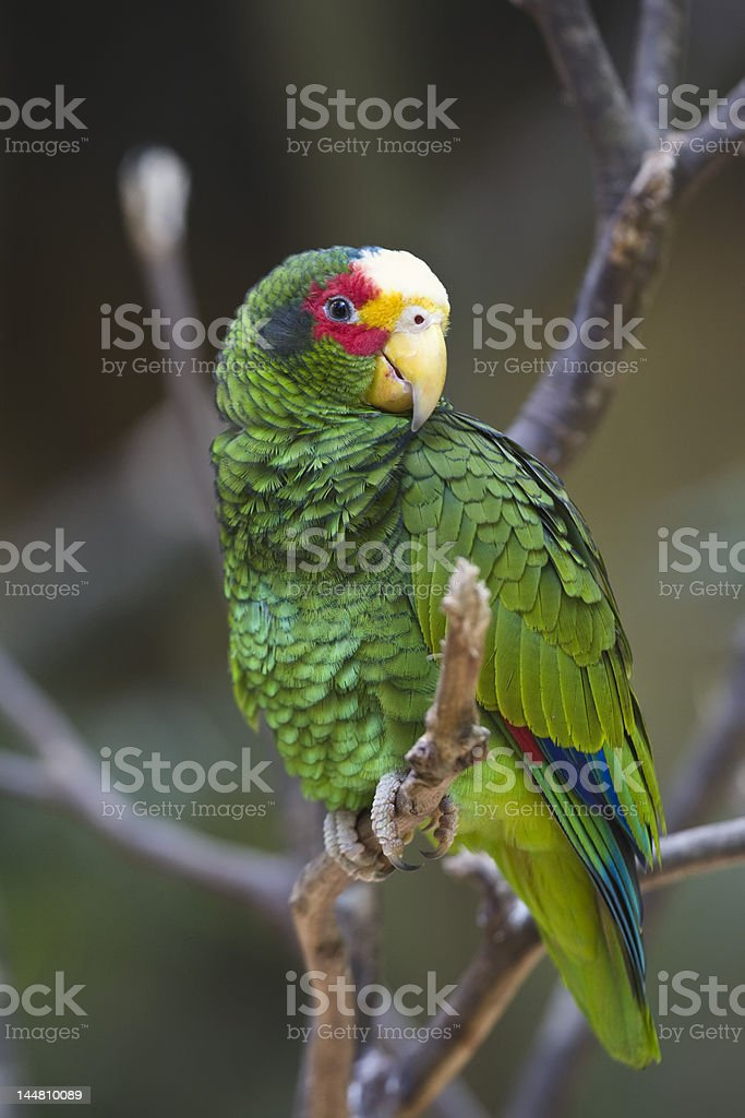 Yellow-lored Parrot royalty-free stock photo
