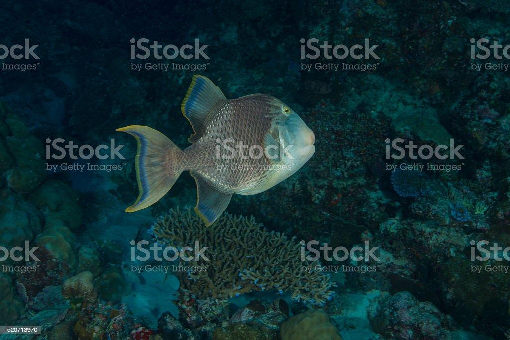 Yellowmargin triggerfish (Pseudobalistes flavimarginatus) stock photo