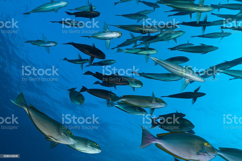 Yellowmask Surgeonfishes School Seen From Below, Komodo National Park, Indonesia stock photo