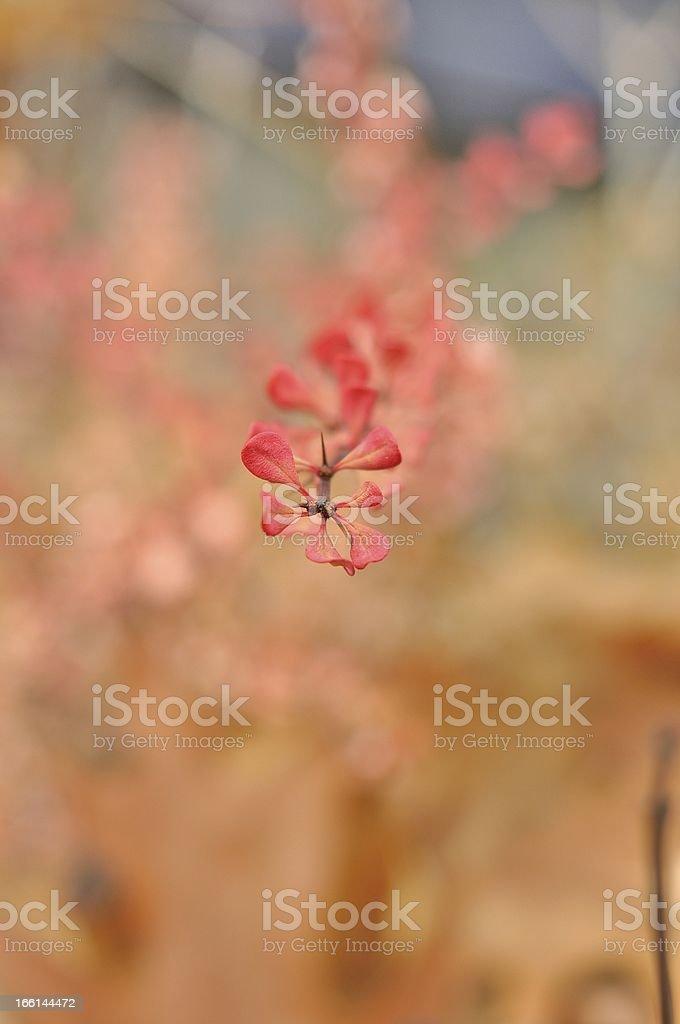 Yellow-pink shrubs royalty-free stock photo