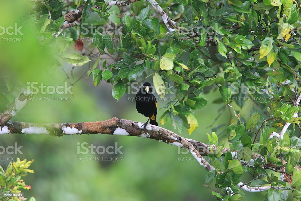 Yellow-rumped Cacique stock photo