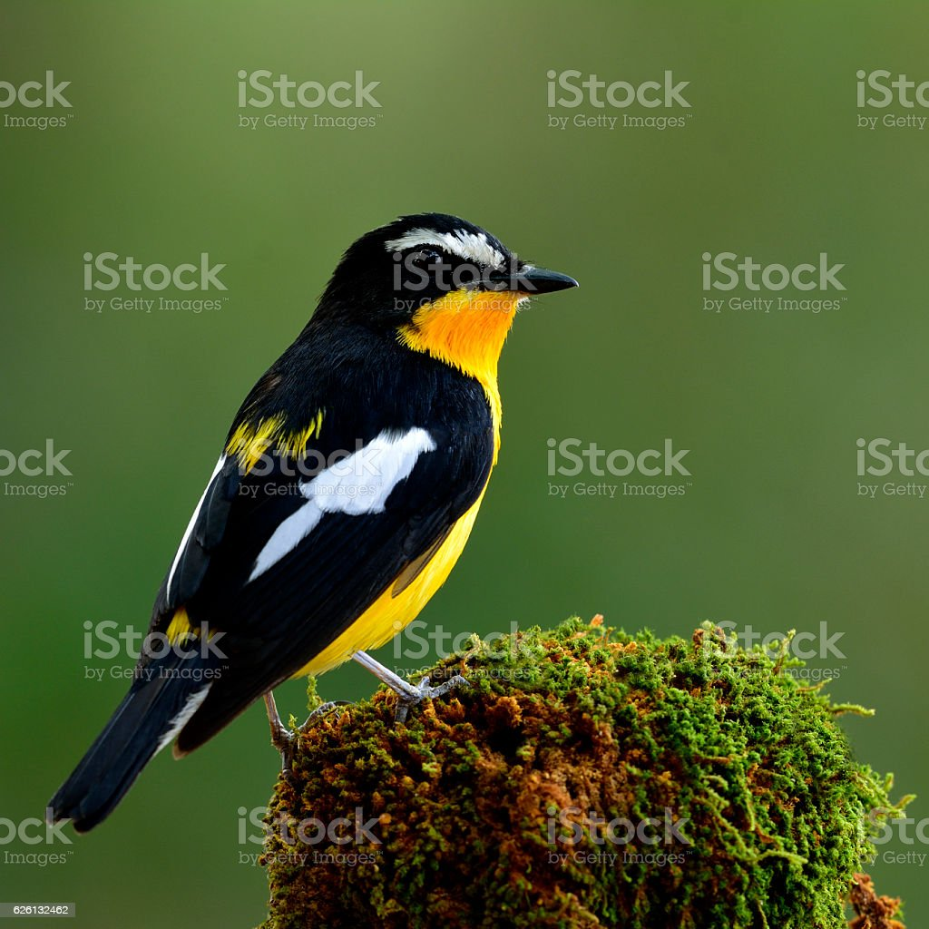 Yellow-rumped flycatcher or Korean Flycatcher (Ficedula zanthopy stock photo