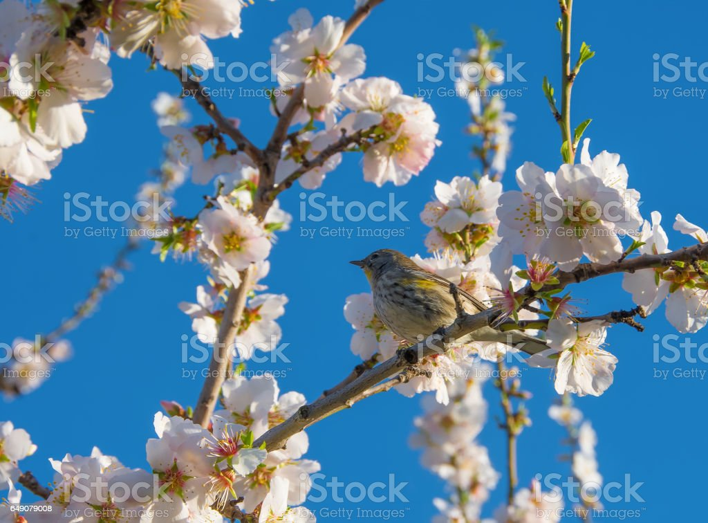 Yellow-rumped Warbler Female stock photo