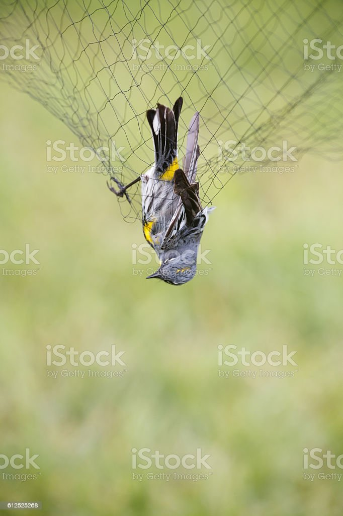 Yellow-rumped Warbler in the net stock photo