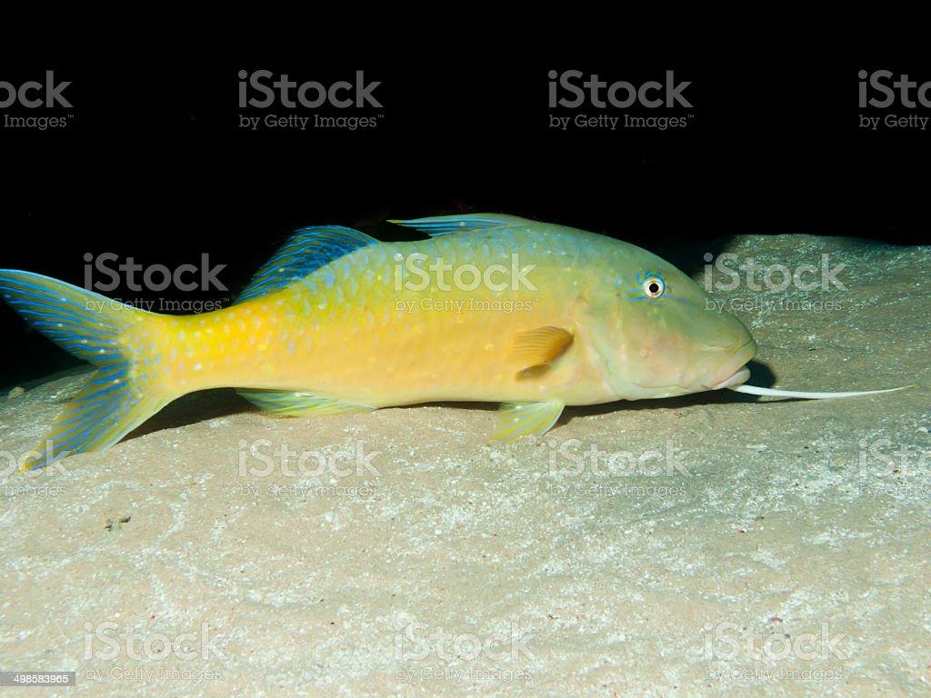 Yellowsaddle goatfish stock photo