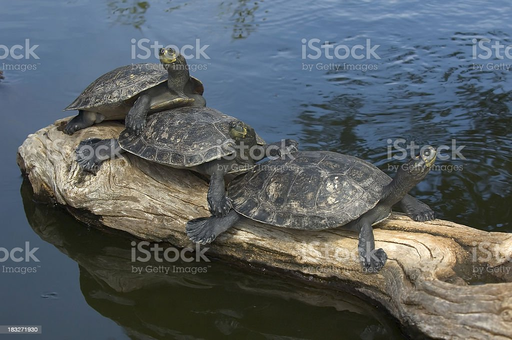 Yellow-spotted Amazon River Turtles stock photo