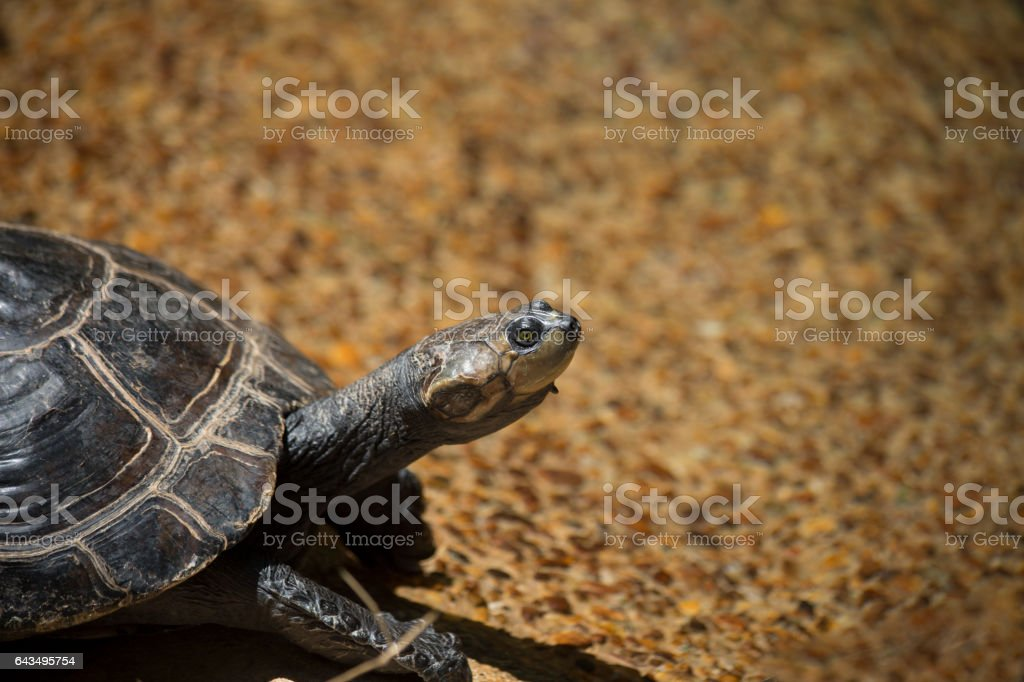 Yellow-Spotted Amazon Turtle stock photo