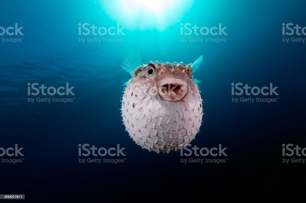 Yellowspotted burrfish using its defense system. stock photo