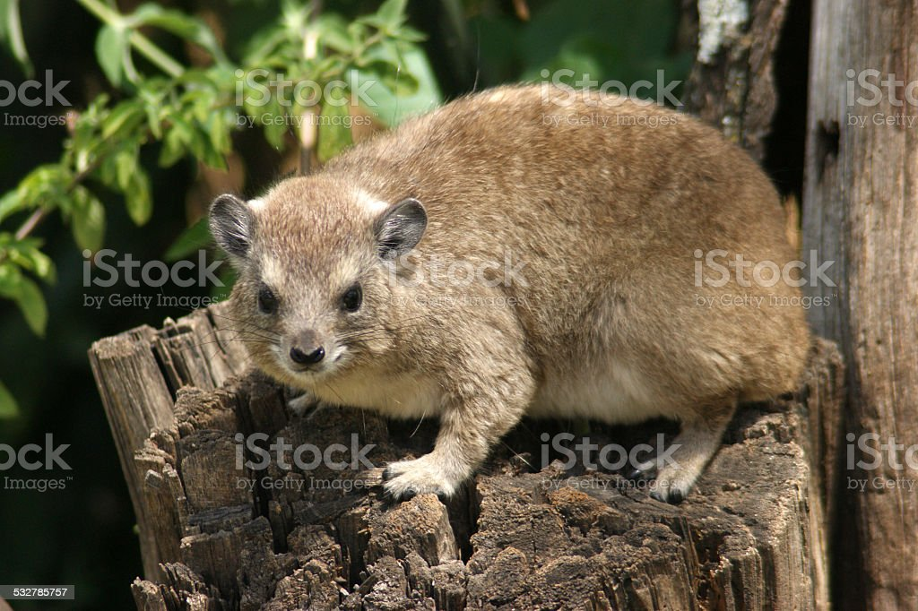 Yellow-spotted Rock Hyrax stock photo