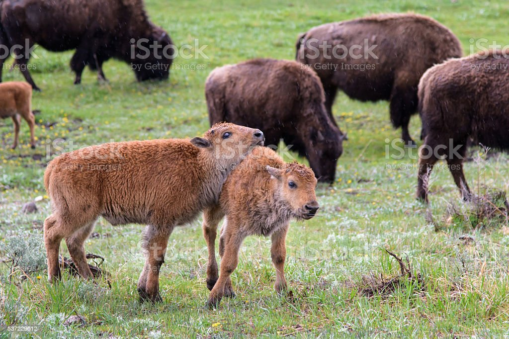 Yellowstone Bison Calves Together in Field with Herd stock photo
