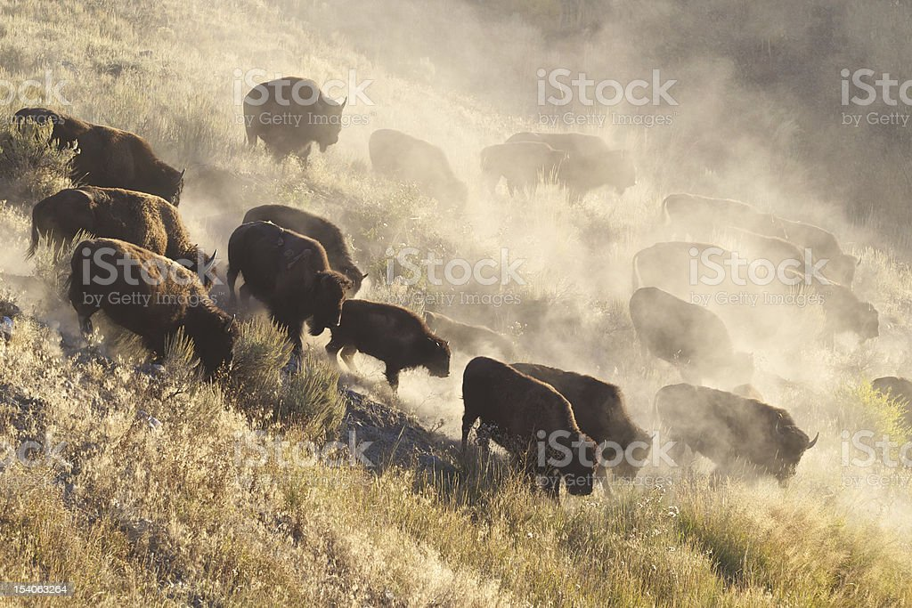 Yellowstone Bison herd stock photo