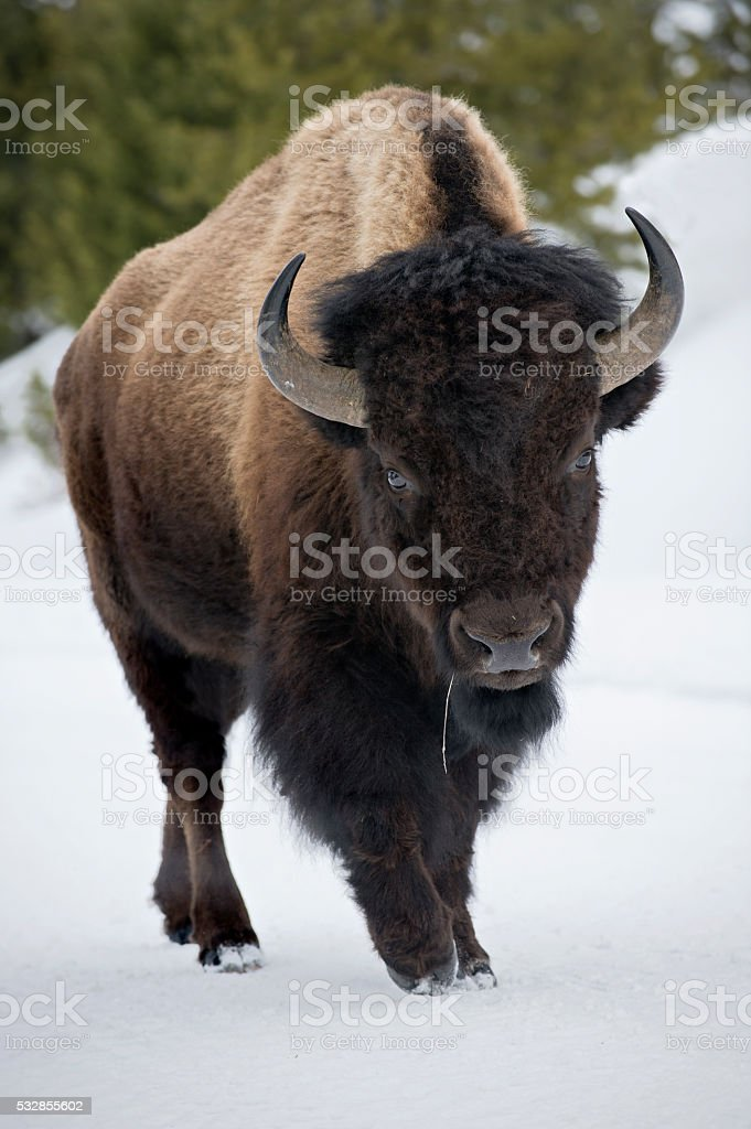 Yellowstone Bison in Snow stock photo