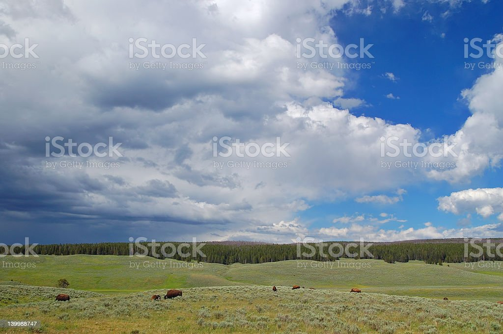 Yellowstone Bison royalty-free stock photo