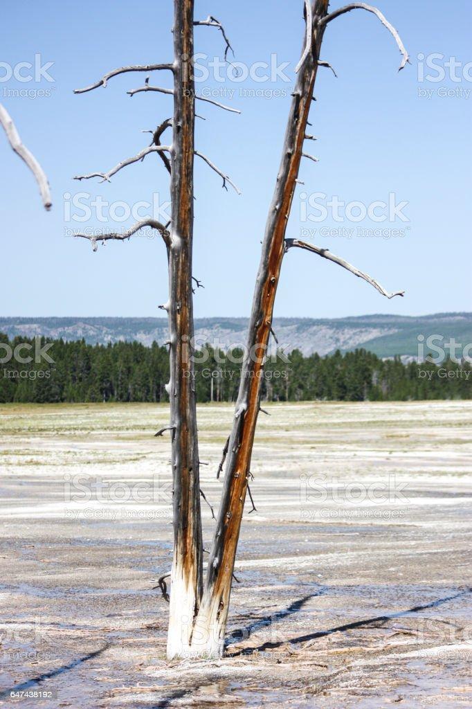 Yellowstone burnt trees stock photo