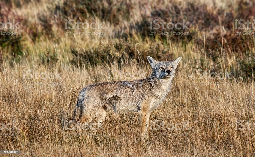 Yellowstone Coyote Smells somthing on the Wind stock photo