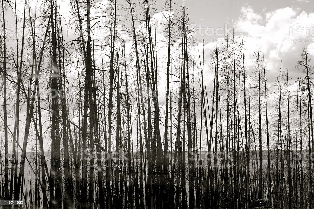 Yellowstone Fire remains in Black and White royalty-free stock photo