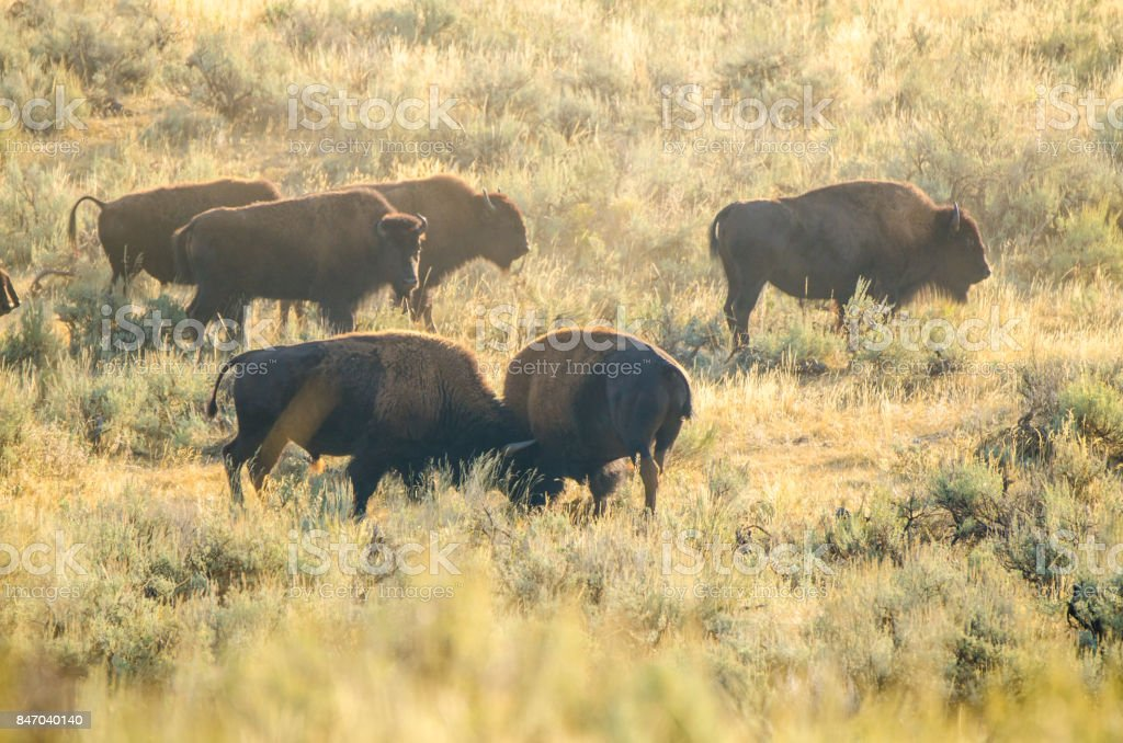 Yellowstone National Park, bison fight stock photo