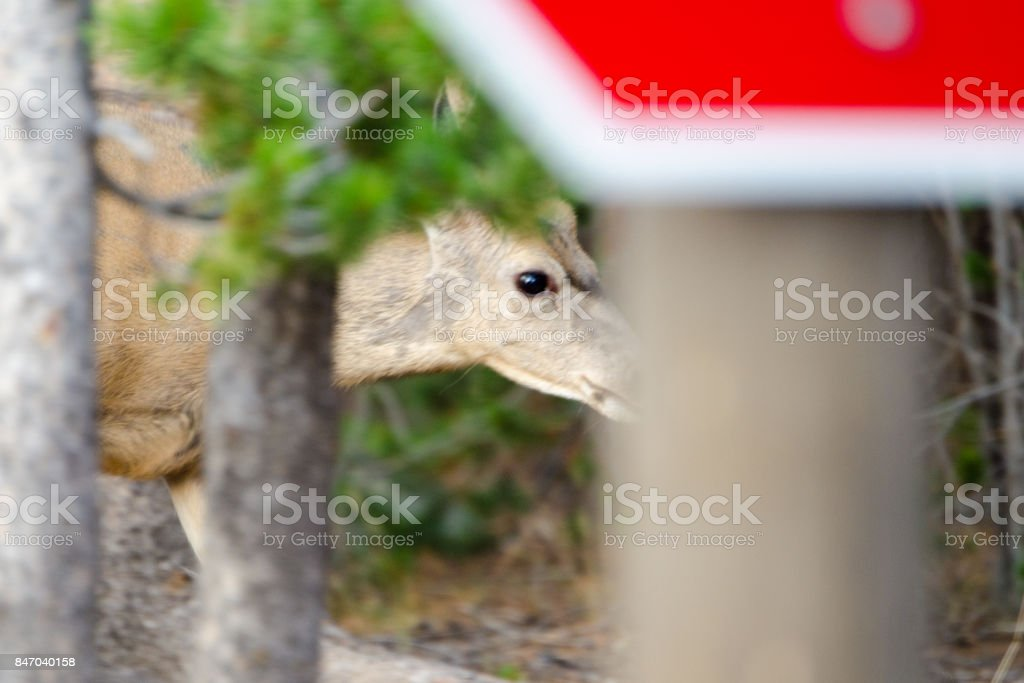 Yellowstone National Park deer eyes in campground stock photo
