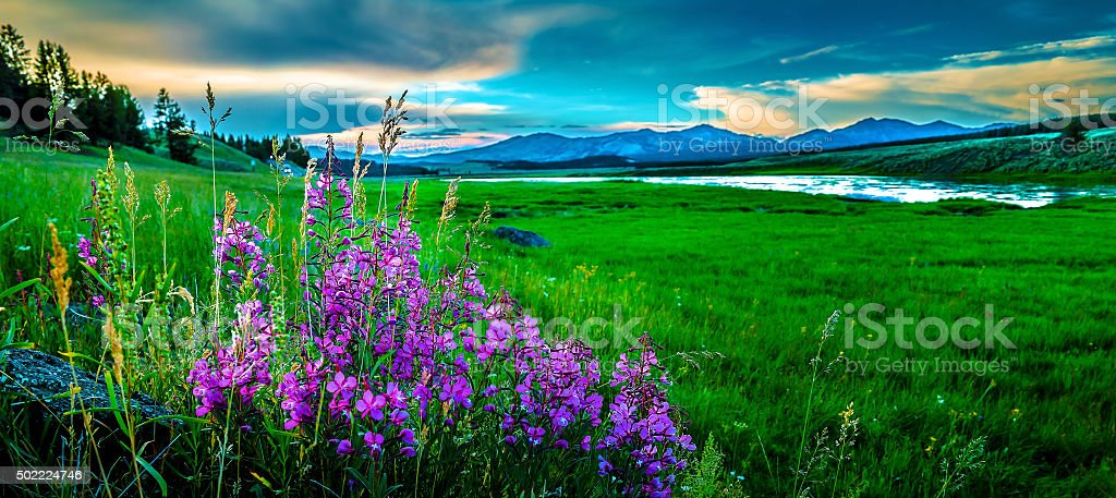 Yellowstone National Park, Haden Valley and wildflowers.  Wyoming, USA. stock photo