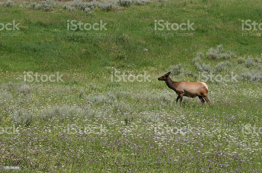 Yellowstone National Park royalty-free stock photo