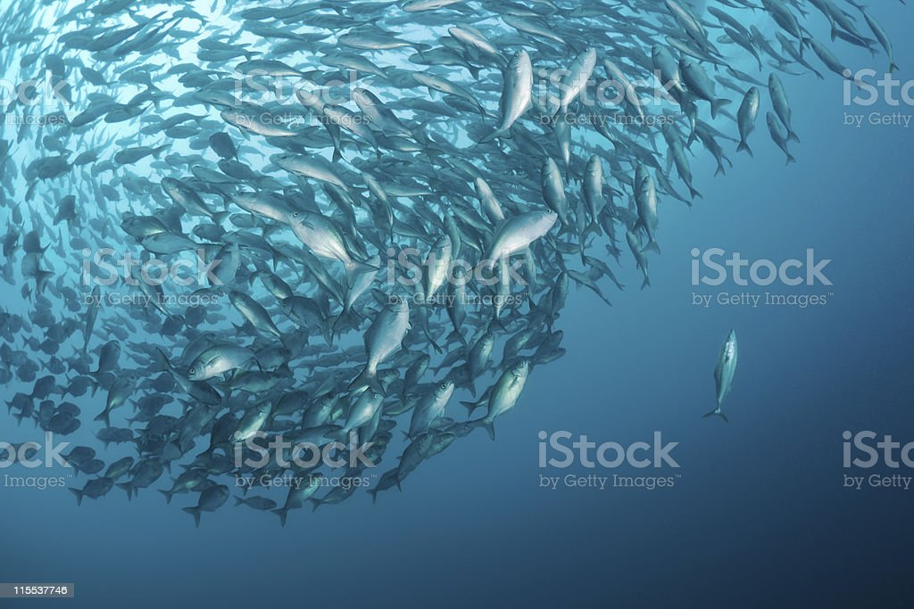 Yellowtail and butterfish baitball in sea of japan stock photo