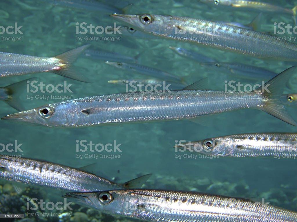 Yellowtail barracuda royalty-free stock photo