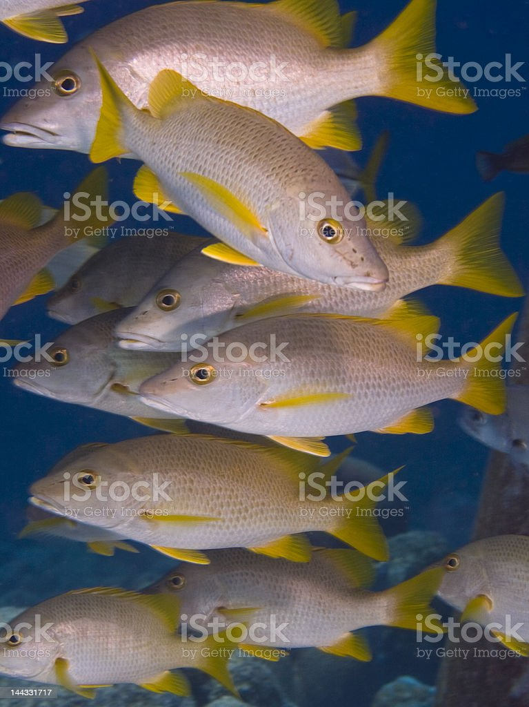 Yellowtail snapper stock photo