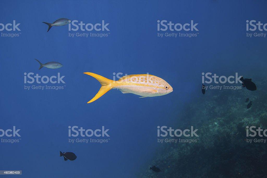 Yellowtail snapper stock photo