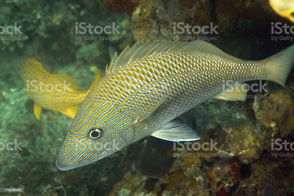 Yellowtail Snappers stock photo