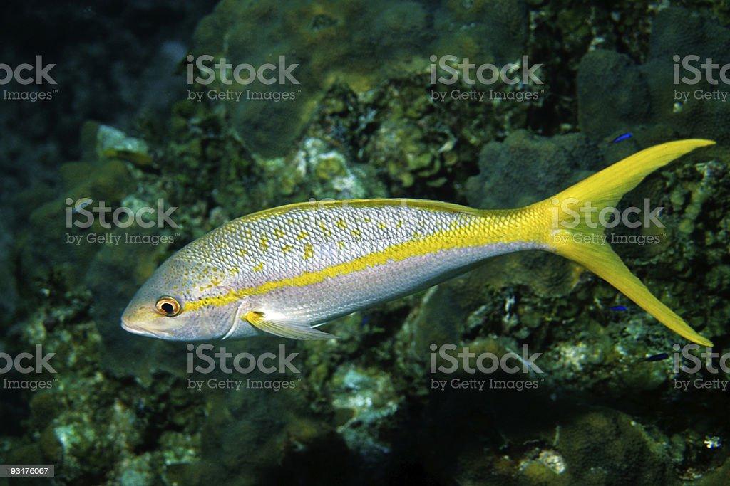 Yellowtail-Snapper stock photo