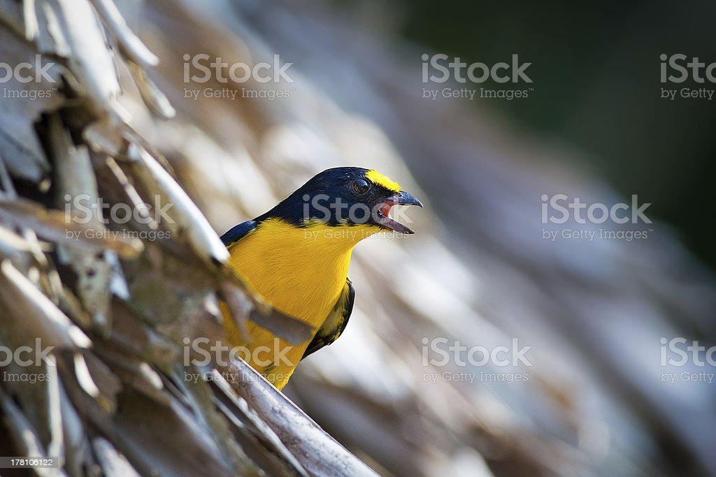 Chant Euphonia à gorge jaune photo libre de droits