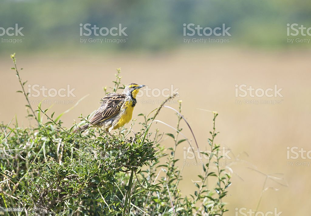 yellow-throated longclaw on a bush stock photo