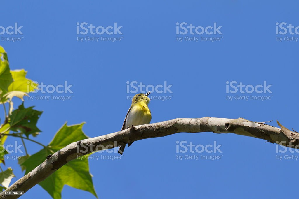 Yellow-throated Vireo (Vireo flavifrons) stock photo