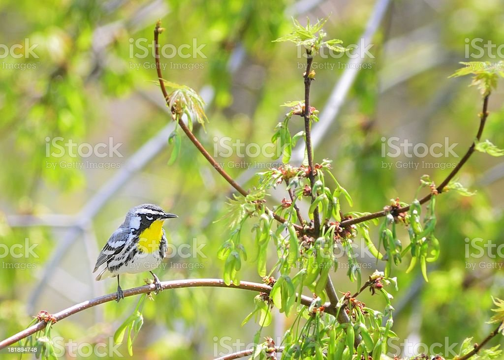 Yellow-throated Warbler, Dendroica dominica, In Spring stock photo